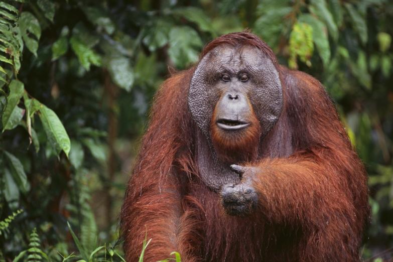 Орангутан в естественной среде обитания