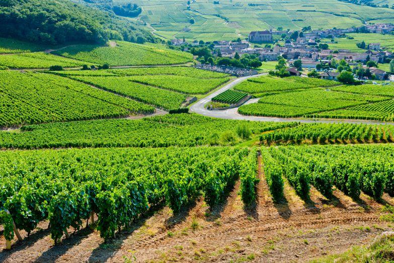 Виноградники в Бургундии