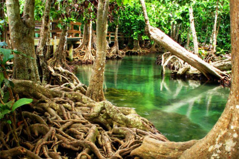 Мангровый лес на реке Тха Пом