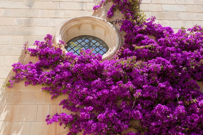 Розовые цветы Бугенвиллии на стенах старинного храма