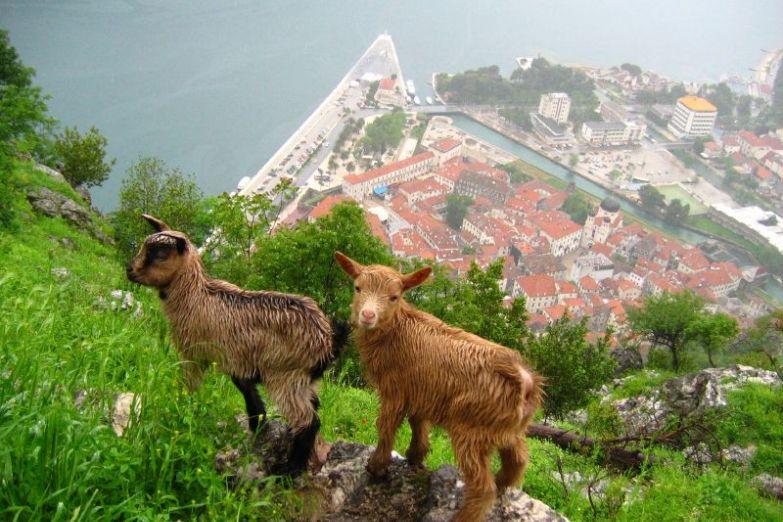 Горные козы в Которской бухте