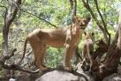 Львы в парке Касела