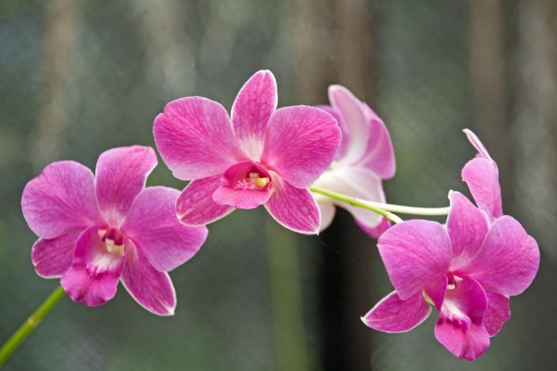 Цветущая орхидея в ботаническом саду в Перадении