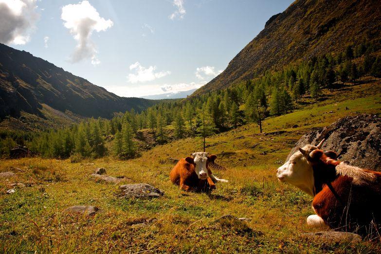 Коровы на лугу в Саянах