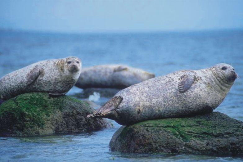 Тюлени на Аранских островах