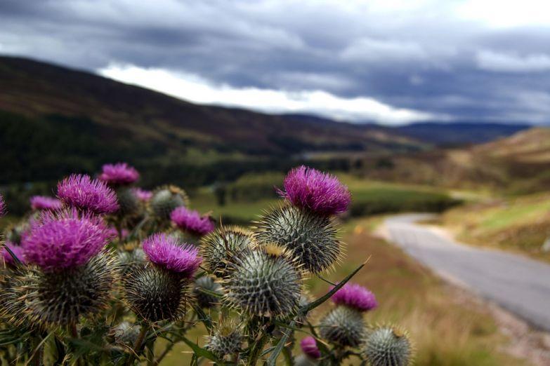 Цветок чертополоха - национальный символ Шотландии
