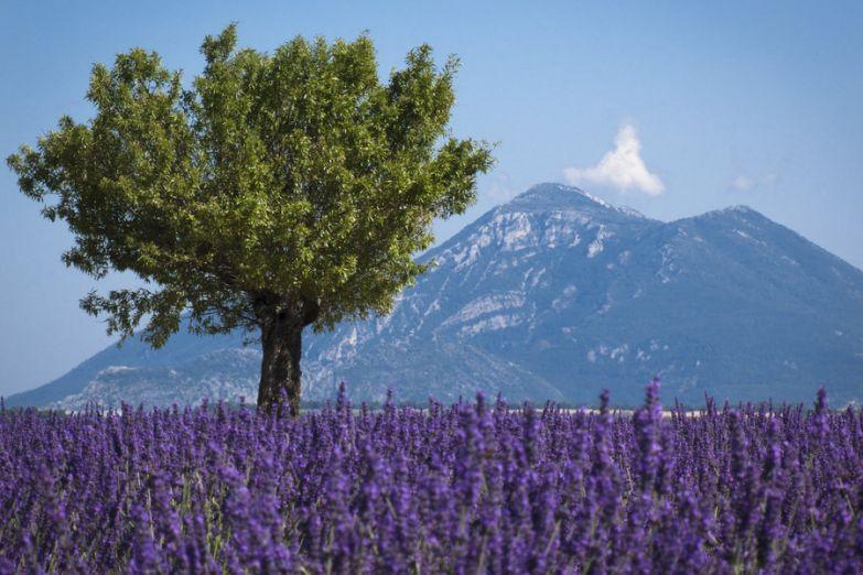 Лавандовые поля и горы