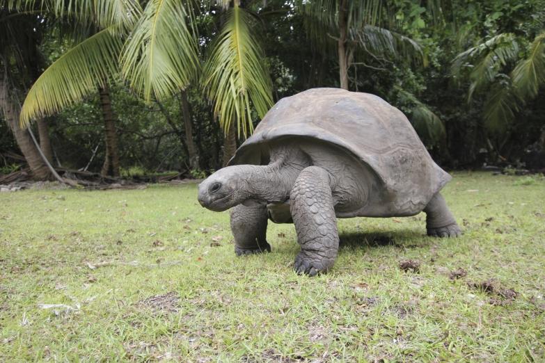 Сейшельская гигантская черепаха