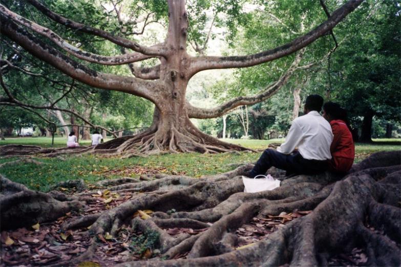 Баньян в ботаническом саду в Перадении