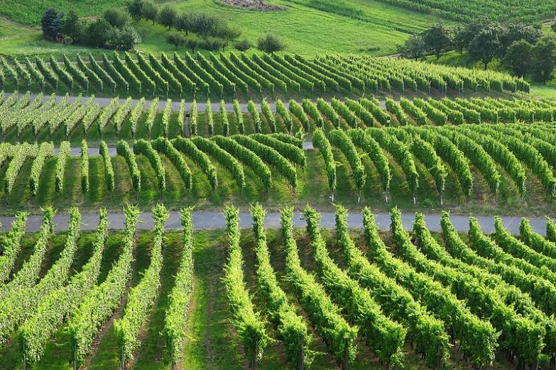 Немецкие виноградники