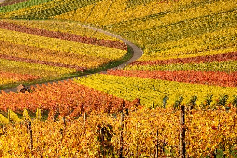 Осень на рейнском винограднике