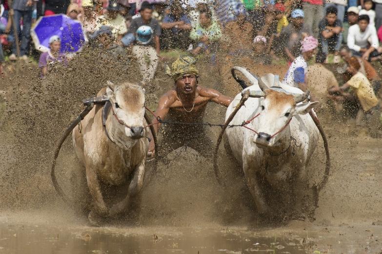Буйволиные гонки на западе Суматры