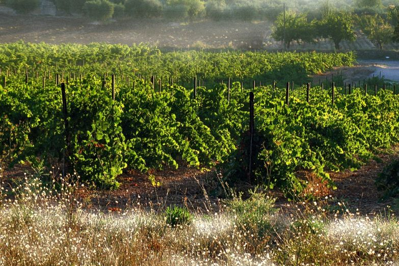 Виноградники в тумане