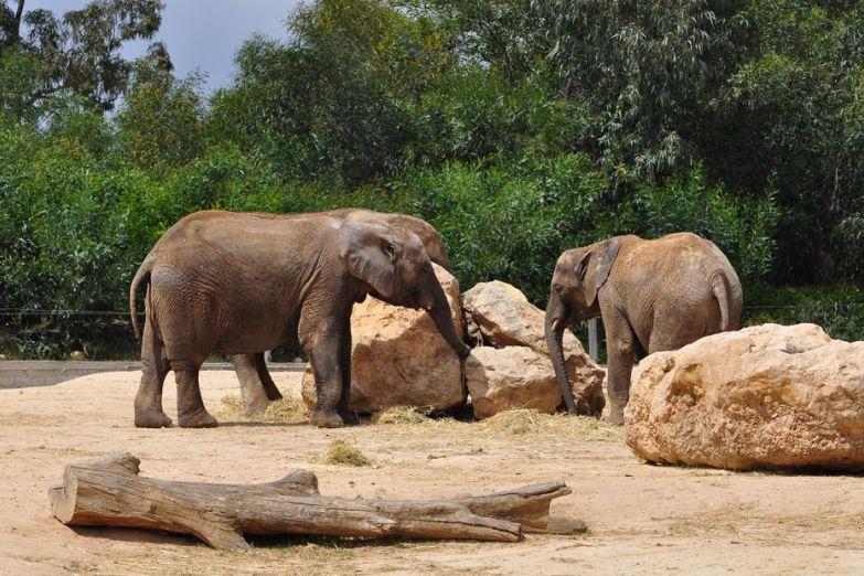 Слоны в зоопарке