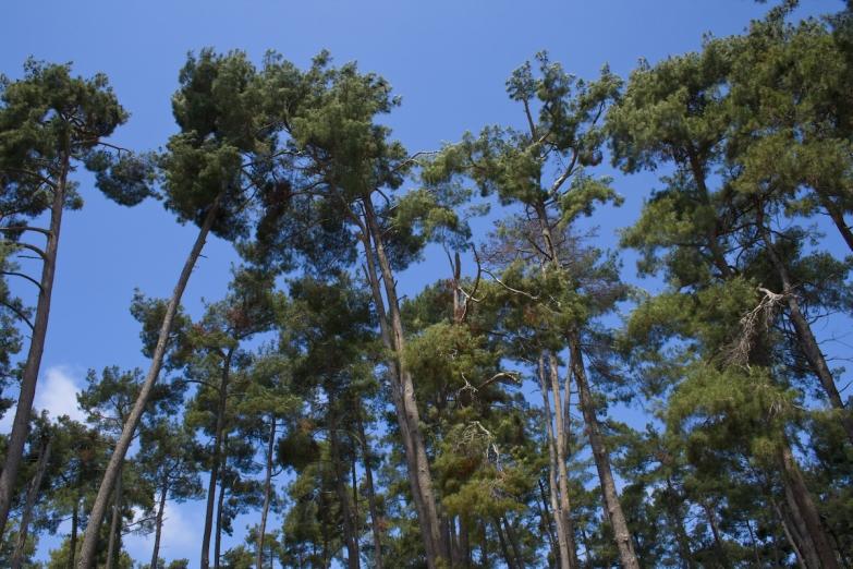 Сосновйый лес