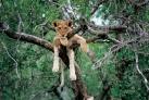 Молодой лев отдыхает от дневной жары