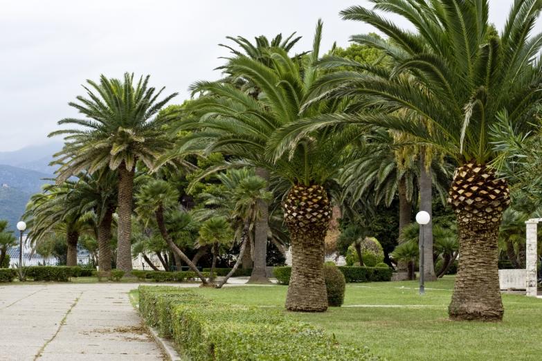 Пальмы на набережной Будвы