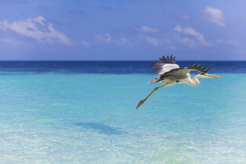 Цапля над гладью моря