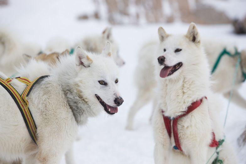 Собачьи упряжки