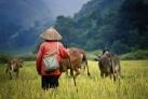 Камбоджийский пастух за работой