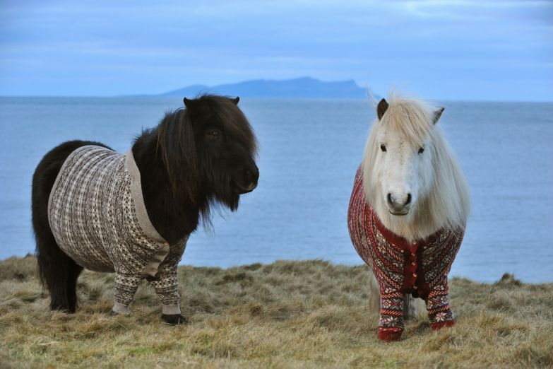 Шетлендские пони в забавных свитерах