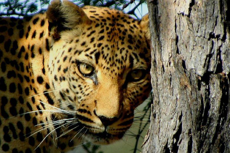 Гепард в Национальном парке Южная Луангва