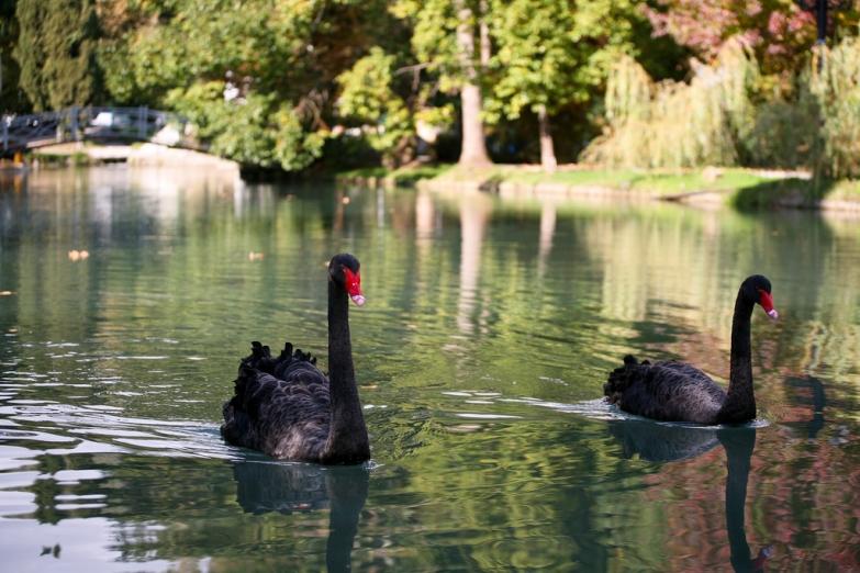Черные лебеди в парке