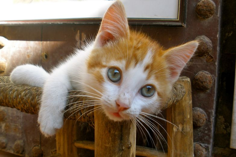 Марокканский кот